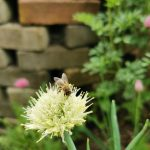 Biene auf Zwiebel